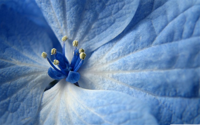 blue flower-Colorful-Flowers Wallpaper Photo Views:5999