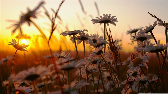 daisies at sunset-Colorful-Flowers Wallpaper Photo Views:4363