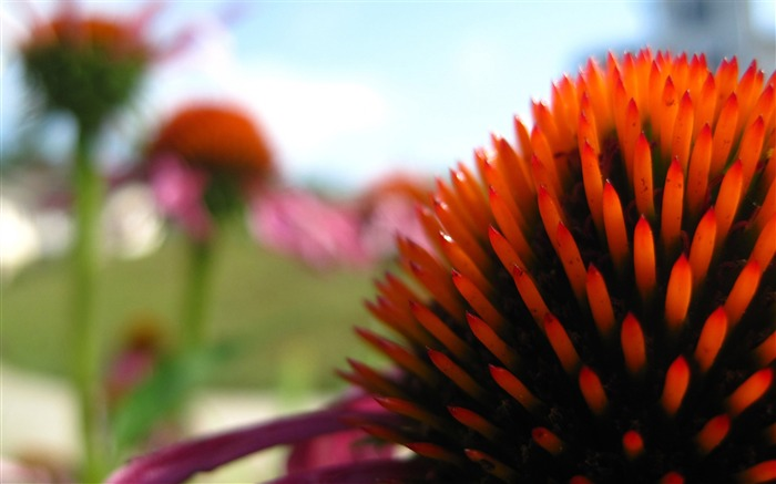 echinacea in the summer-Like beautiful flowers Views:5289