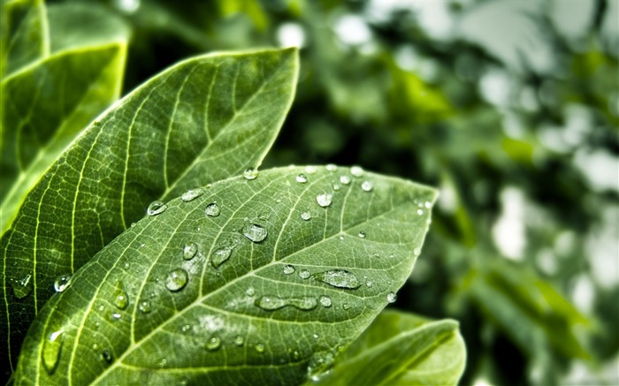 green leaves with water drops-green theme Desktop Views:8879 Date:11/12/2011 11:42:54 AM