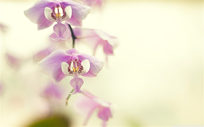 orchid for desktop-Like beautiful flowers Views:5957