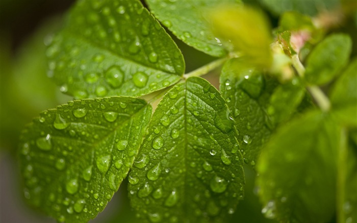 raindrops on a green leaves-green theme Desktop Views:5843 Date:11/12/2011 11:47:48 AM