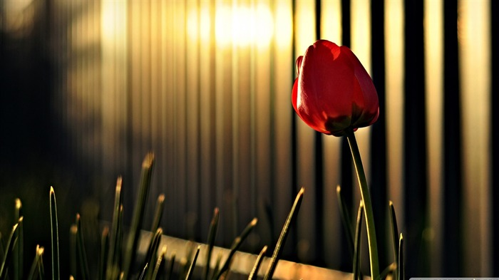 red tulip-Colorful-Flowers Wallpaper Photo Views:4839