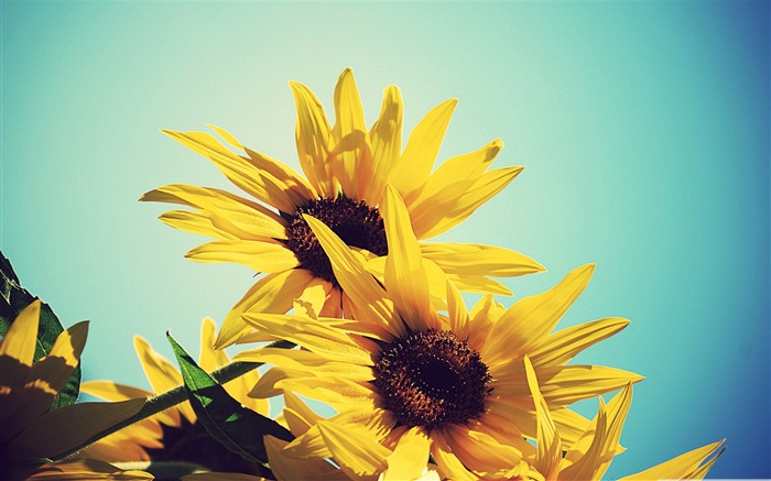 sunflowers against blue sky-Colorful-Flowers Wallpaper Photo Views:13433