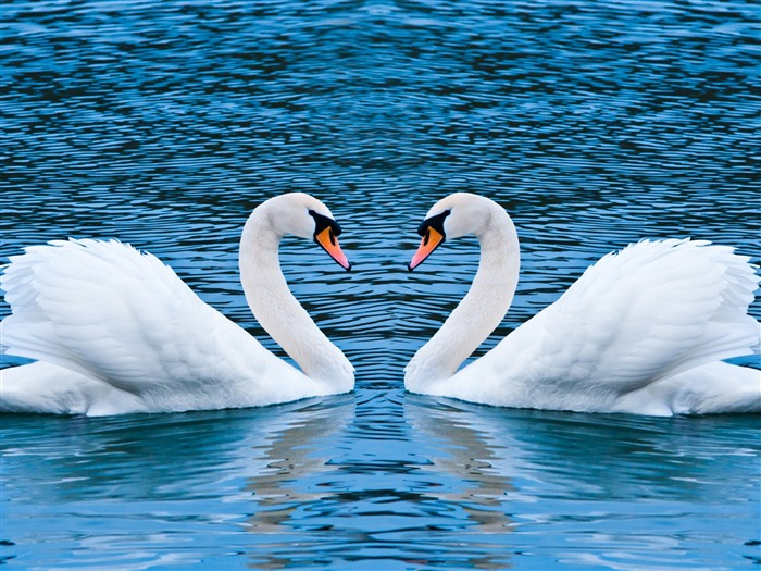 two swans-love wallpaper pictures Views:12755