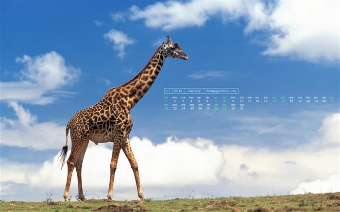 Giraffe-January 2012 calendar desktop themes wallpaper Views:8686 Date:12/30/2011 11:50:52 PM