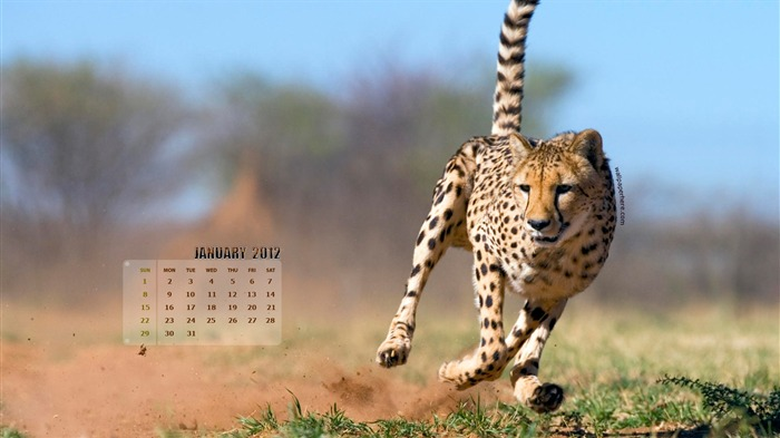 Leopard-January 2012 calendar desktop themes wallpaper Views:5906 Date:12/30/2011 11:56:14 PM