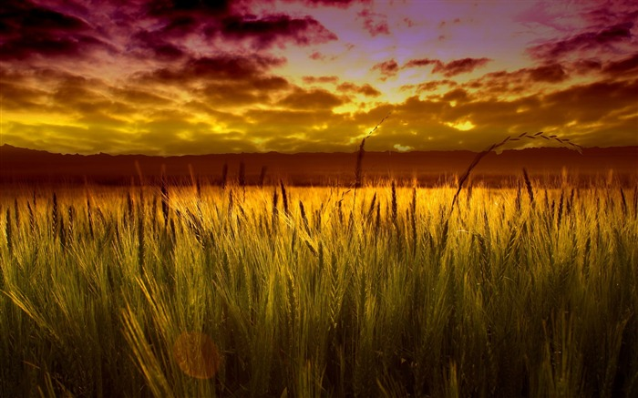 colorful sunset over wheat field-Nature Landscape Wallpaper Views:18551