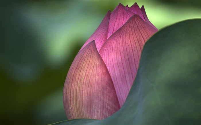 lotus flower-flowers desktop picture Views:6158