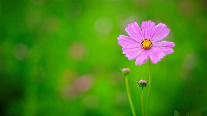pink flower green background-flowers desktop picture Views:4868