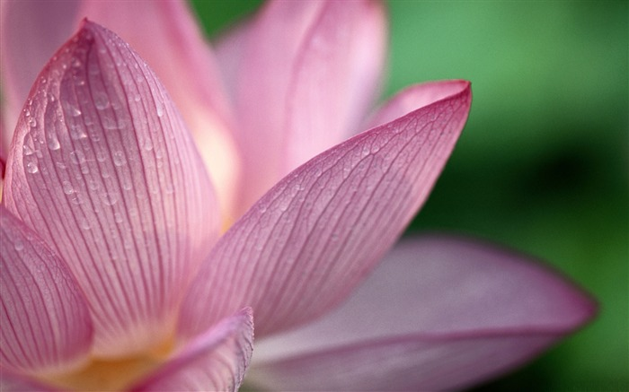 pink lotus flower-flowers desktop picture Views:5449