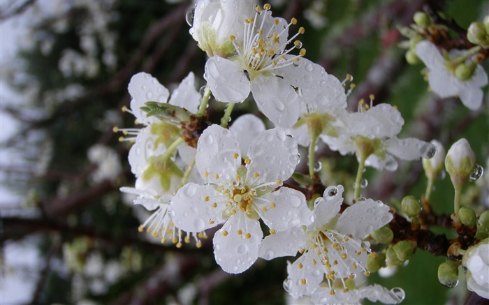 plum flowers-flowers desktop picture Views:7758