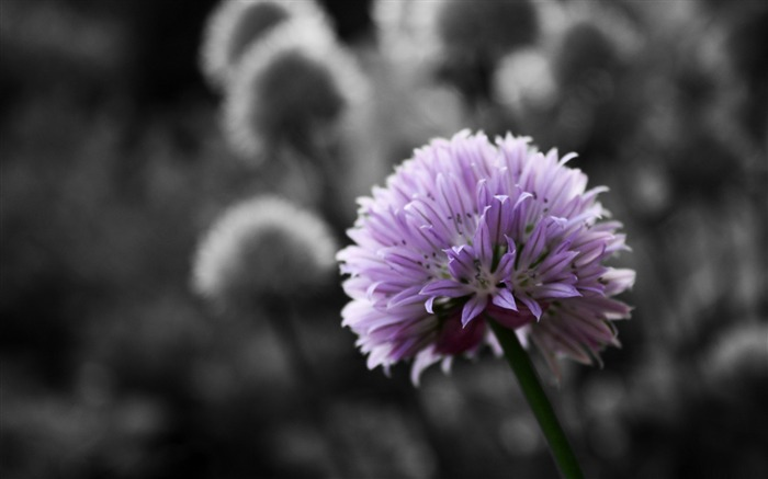 purple flower on black and white background-flowers Desktop Wallpapers Views:12350 Date:12/20/2011 12:21:46 AM