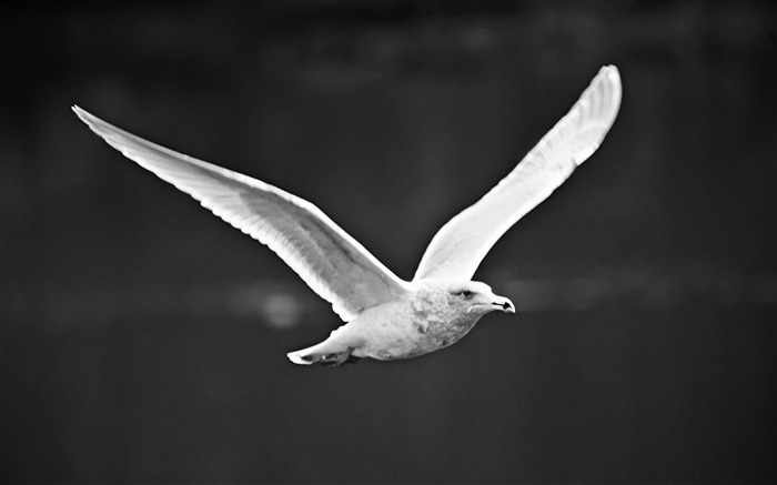 seagull flying black and white-birds Desktop Wallpapers Views:16071