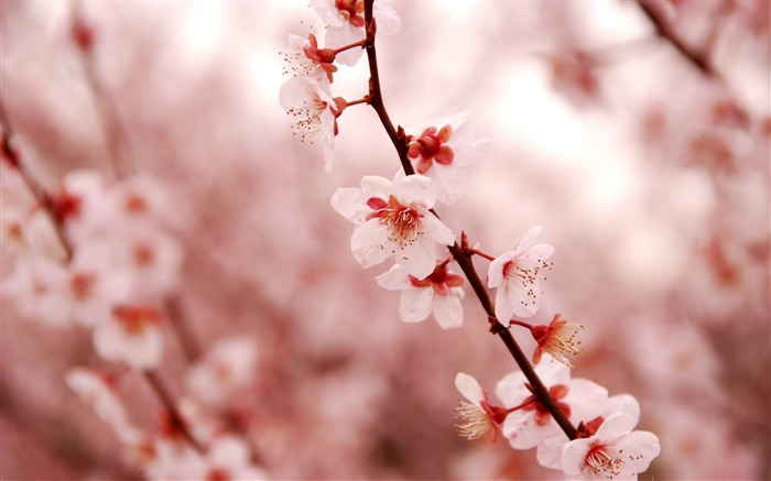 Pink cherry blossom-beauty spring desktop wallpaper Views:47824
