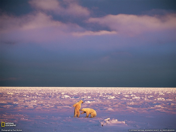 Sparring Polar Bears Svalbard-Landscape photography theme wallpaper Views:5509 Date:1/23/2012 3:12:12 PM