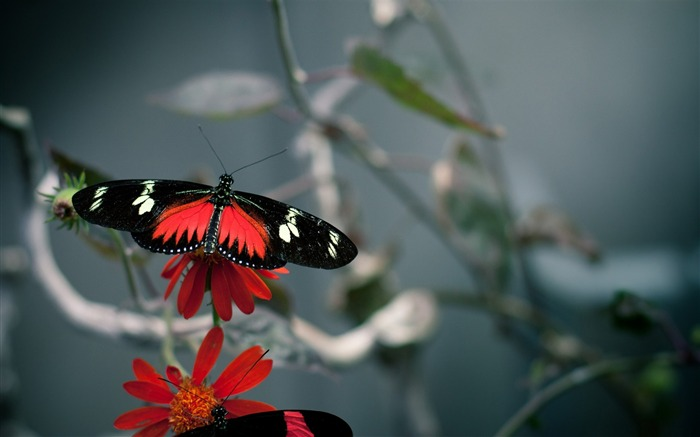 beautiful butterfly -the beautiful butterfly desktop wallpaper Views:4484