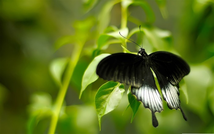 black and white butterfly-the beautiful butterfly desktop wallpaper Views:6684