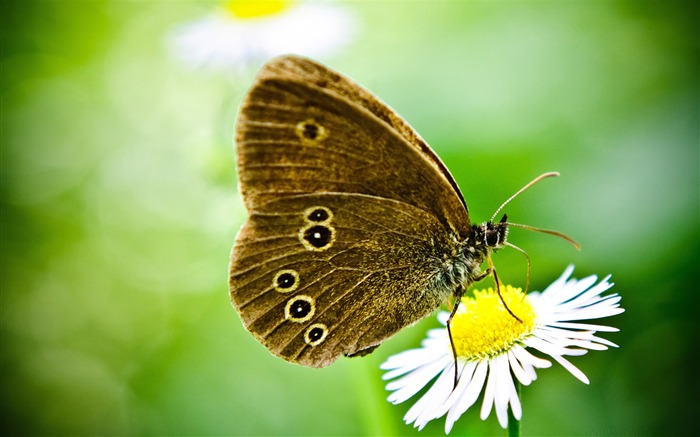 butterfly on a wild daisy-the beautiful butterfly desktop wallpaper Views:6036