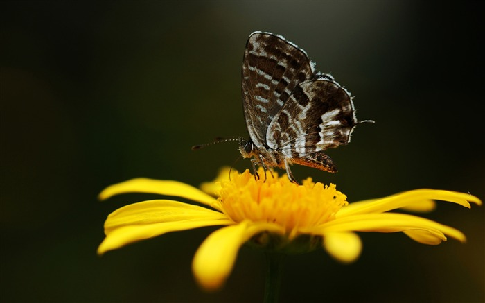 butterfly on a yellow flower-the beautiful butterfly desktop wallpaper Views:4805