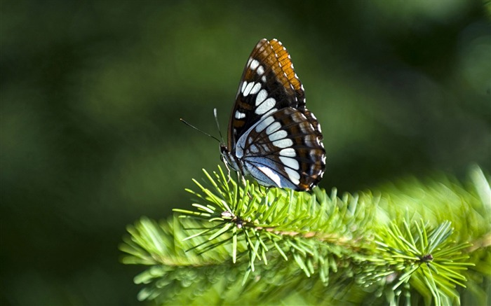 butterfly on fir branch-the beautiful butterfly desktop wallpaper Views:4473