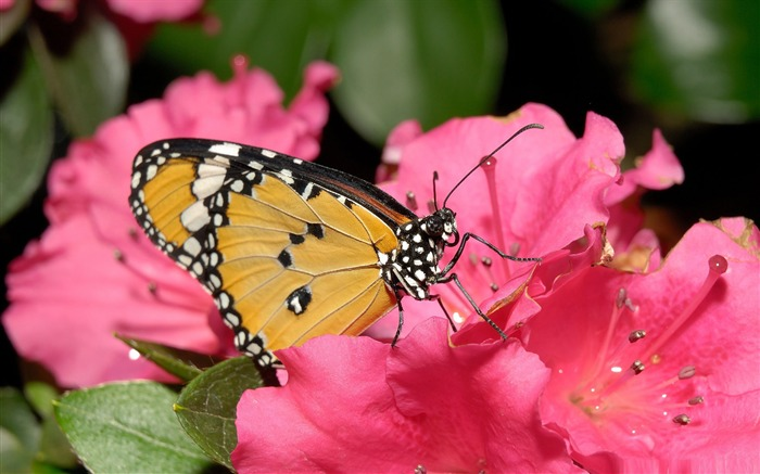 butterfly on pink flower-the beautiful butterfly desktop wallpaper Views:4893