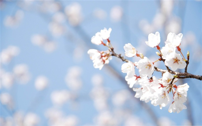 cherry blossom and blue sky-beauty spring desktop wallpaper Views:19245