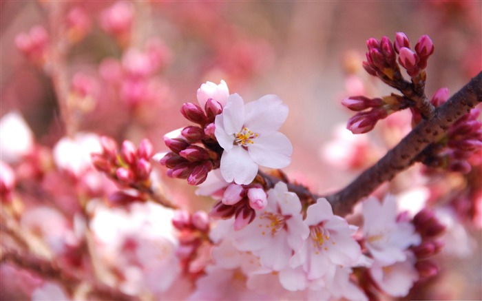cherry blossom buds-beauty spring desktop wallpaper Views:44685