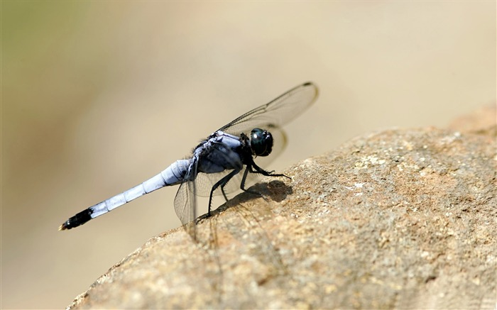 dragonfly on the rock-small animal desktop wallpaper Views:4267