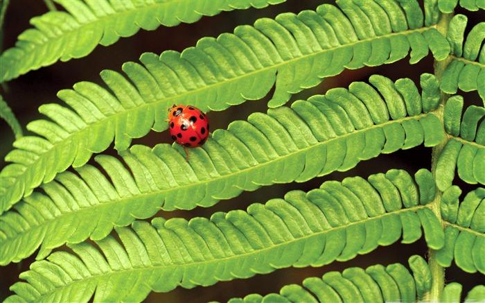 瓢虫上的蕨类植物-小动物桌面壁纸
