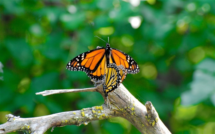 monarch butterflies mating-the beautiful butterfly desktop wallpaper Views:6902