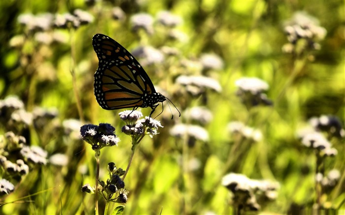 monarch butterfly on a flower-the beautiful butterfly desktop wallpaper Views:4118
