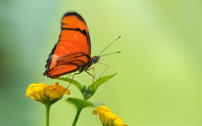 orange butterfly-the beautiful butterfly desktop wallpaper Views:5127