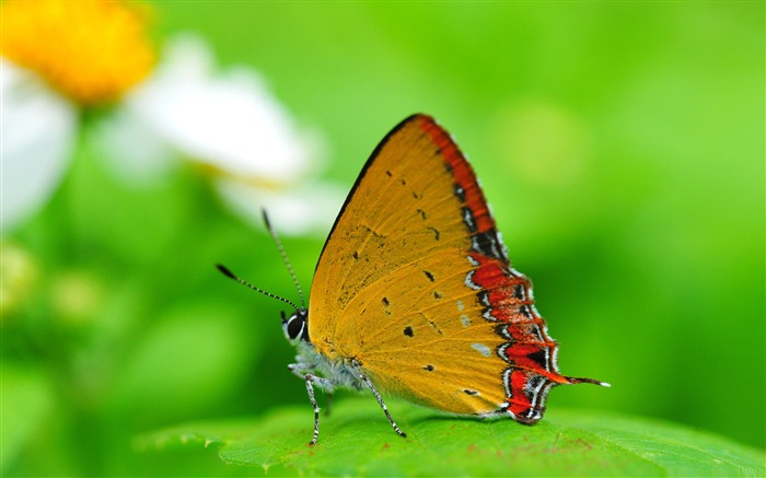 orange butterfly on a leaf-the beautiful butterfly desktop wallpaper Views:5454