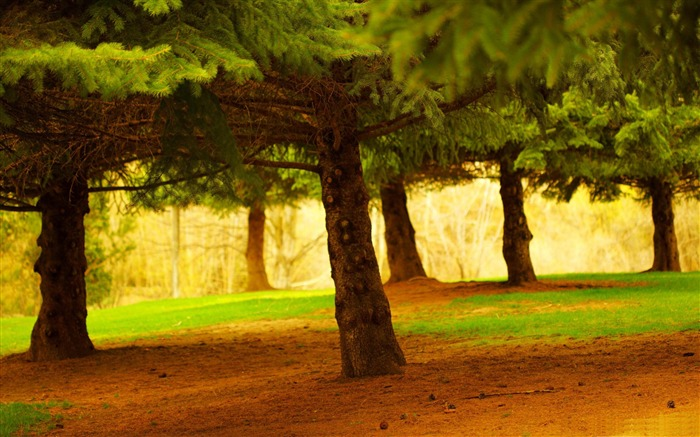 pine trees-forest landscape desktop wallpaper Views:6962