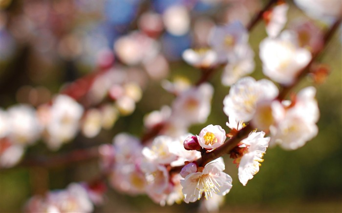 plum tree-beauty spring desktop wallpaper Views:5851