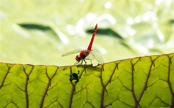 red dragonfly-small animal desktop wallpaper Views:4098
