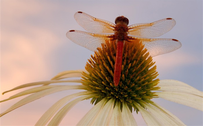red dragonfly -small animal desktop wallpaper Views:4040