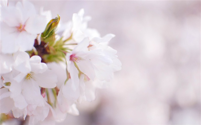 white cherry blossom-beauty spring desktop wallpaper Views:9952