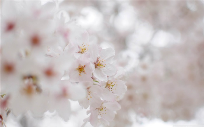 white cherry blossom macro-beauty spring desktop wallpaper Views:6760