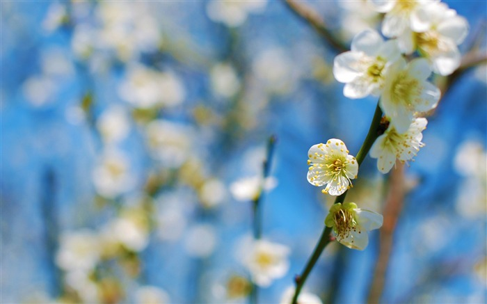 white plum blossom-beauty spring desktop wallpaper Views:12455
