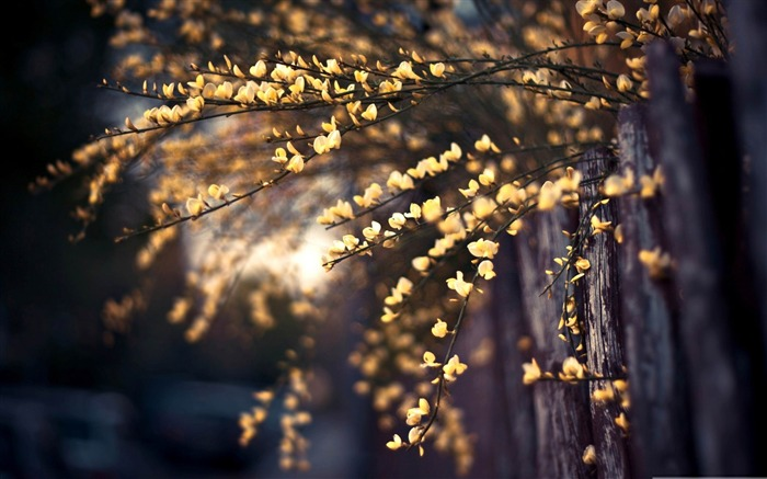 yellow tree blossom-beauty spring desktop wallpaper Views:5282