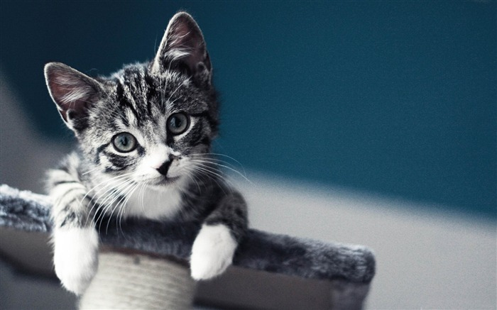 Cute pet cat desktop pictures Views:15263