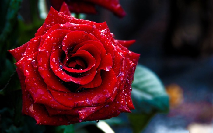 Valentines Day flowers photography picture Views:8915