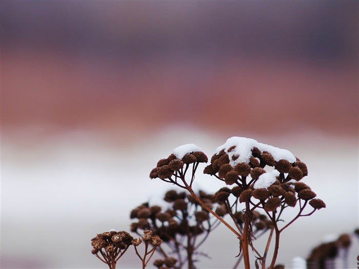snowy wildflower-Natural landscape Desktop wallpaper Views:3434