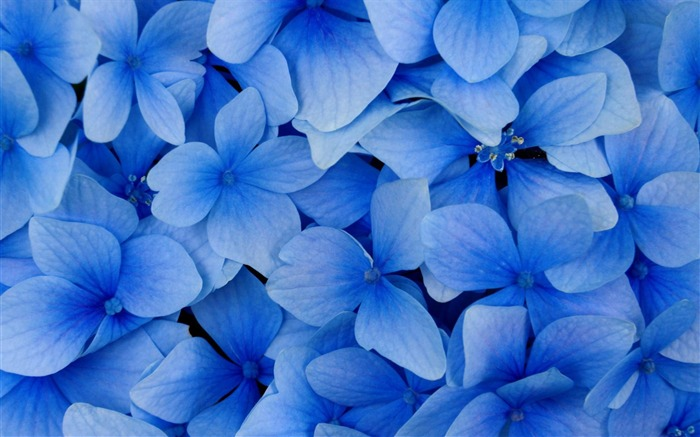 blue hydrangea blossoms-flowers photography wallpaper Views:9590