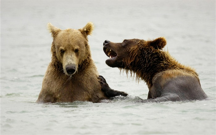 brown bears playing mcneil river alaska-Nature wild animals Featured Wallpaper Views:6481