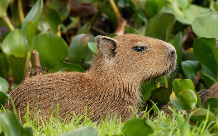 capybara venezuela-Nature wild animals Featured Wallpaper Views:18836