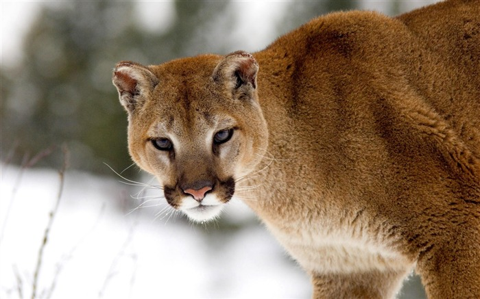 cougar in winter montana-Nature wild animals Featured Wallpaper Views:7980