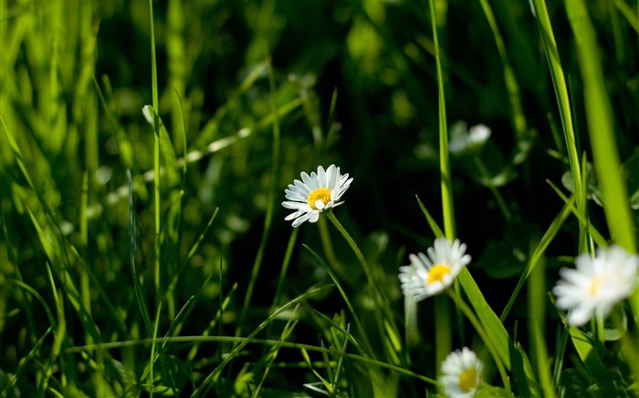 daisies and green grass-flowers photography wallpaper Views:5697